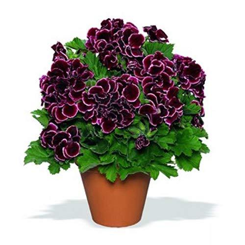 Cioler 100pcs Geranien Samen Geranium Samen Pelargonium Hortorum Blumensamen Garten Topfpflanzen