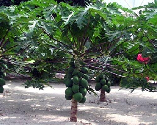 Carica Papaya Dwarf Papaya Live Fruit Tree Plant