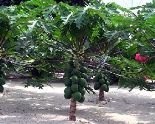 Carica Papaya Dwarf Papaya Live Fruit Tree Plant