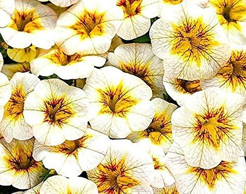 GETSO Seltene Superbells 'Frostfeuer Calibrachoa Petunia Annual Blumensamen, Profi