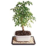 "Brussel's Live Dwarf Hawaiian Umbrella Indoor Bonsai Tree - 4 Years Old; 8"" to 12"" Tall with Decorative Container, Humidity Tray & Deco Rock"