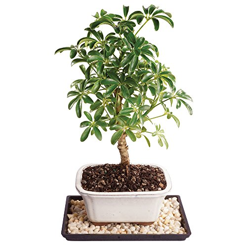 Brussel's Live Dwarf Hawaiian Umbrella Indoor Bonsai Tree - 4 Years Old; 8' to 12' Tall with Decorative Container, Humidity Tray & Deco Rock