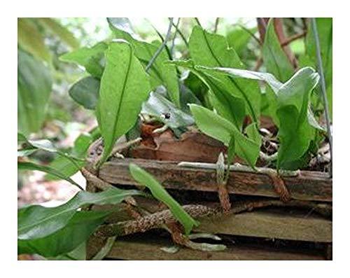 Exotic Plants -  Microgramma