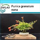 SAFLAX - Set regalo - Granado enano - 50 semillas - Con caja regalo/envío, etiqueta para envío, tarjeta de felicitación y sustrato de cultivo y fertilizante - Punica granatum nana