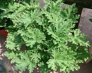 mosquito plant pelargonium citrosum