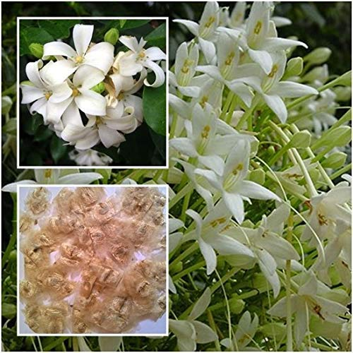 seedsown Keimfutter: 150Pcs: Kaufen Astragalus Sinicus Blumensamen Pflanze Lila Blume Astragalus