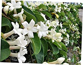 OPY 10 Pcs Seed Vine Stephanotis Floribunda Houseplant White Flower Seeds Madagascar Jasmine - EB38