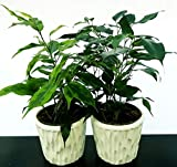 ficus benjamin verde ed anastasia in vaso ceramica, piante vere