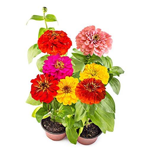 XINDUO Blumensamen für Bienen,Indoor Four Seasons Easy Living Zinnia Blumensamen-0,25 kg_weiß,Blumenwiese