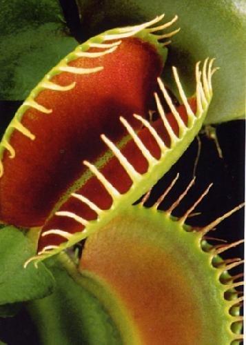 Tropica ? Venus 'Fly Piège (Dionaea Muscipula) ? 10 graines ? Carnivors