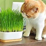 nulala 200 pz/pacco Erba Gatto semi casa giardino Bella Pianta semi di Fiori bonsai da interno piante in vaso di fiori seme