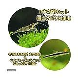 (熱帯魚)(エビ)コケ対策セット 黒髭ゴケ対策 ヤマトヌマエビ(10匹)+サイアミーズフライングフォックス(4匹) 北海道航空便要保温