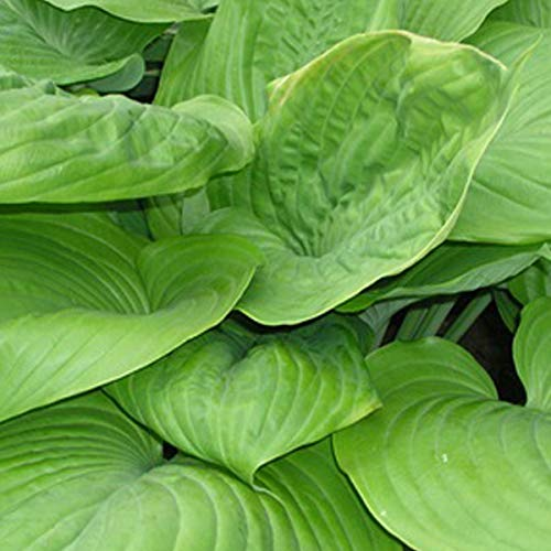 6 x Hosta 'Sum And Substance' - Funkie Sum and Substance Kleincontainer 9cm x 9cm