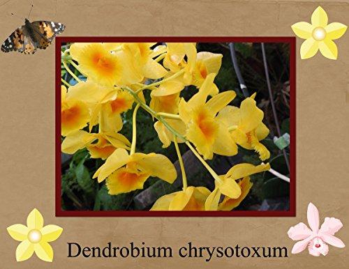 Dendrobium chrysotoxum photography 2017 (English Edition)