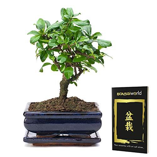 Bonsaiworld Bonsai Kugel Form - 8 Jahre alt - Baumhöhe 20-25 cm