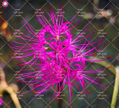 2PCS vrai Lycoris Radiata Ampoules Bana Ampoules (pas de graines) Fleurs en pot Ampoule d'intérieur Bonsai usine pour la maison Jardin 7