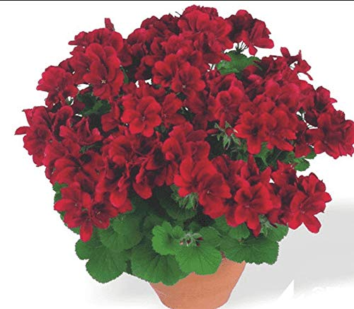 50pcs Semillas Flores Geranios, Bonsai Semillas Flores Planta Ornamental para Adornar Huerto...