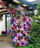 100 piezas / bolsa de semillas de Clematis flores clematis semillas de vid semillas de flores perennes plantas trepadoras Clematis bonsai maceta de plantas de jardín 4
