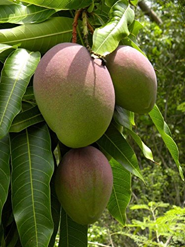 SwansGreen verde de la hoja ® árboles de mango (Mangifera indica) 2 Semillas