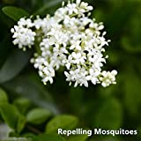 May Bob Mosquito Repellent Flower Seeds,White Mosquito Repellent Flower Sweet Grass Seeds for Garden DIY Home Gardening Very Easy to Grow Pack 300 pcs