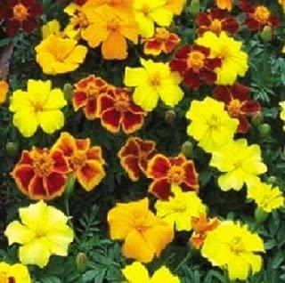 Marigold Seeds French Disco Mix Detailed 200 Bulk Seeds