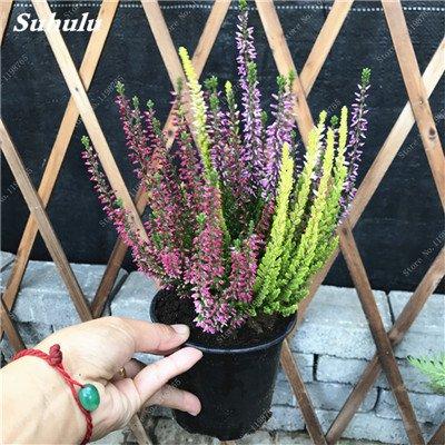 100pcs Belles aromatiques gypsophile Graines vrai étoilées fleurs en pot Gypsophila paniculata All Over The Star Sky Bonsai Fleur 13