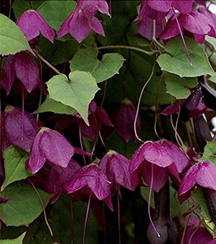 Rosenkleid Rhodochiton Kletterpflanze einjährig Höhe 300 cm Samen