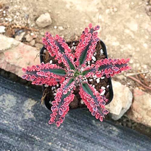 Succulent Live Plant - Kalanchoe...