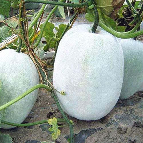 Semillas de melón de invierno 30+ Cera de ceniza Calabaza Verduras Semillas orgánicas de la herencia para el jardín del hogar Jardín al aire libre Plantación de la granja