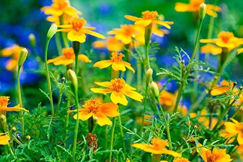 Gewürztagetes orange Tagetes tenuifolia 'Orange Gem' 100 Samen