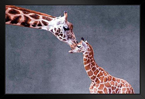 proframes Mütter Love Giraffe Kiss Foto Kunstdruck 18x12 inches Framed Poster