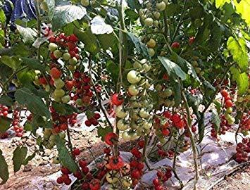 VISA STORE 100pcs Rare Tomate sät Bonsai Bio-Gemüse und Obst Pflanzensamen, Topf Samen für Heim & Garten Gewächshaus Ernte: 5