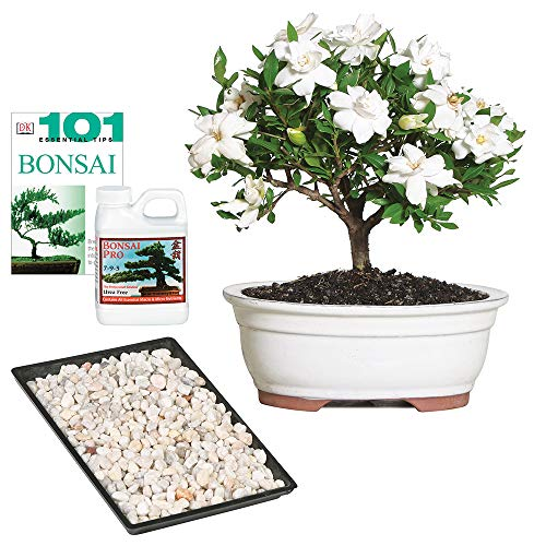 Brussel's Bonsai Live Gardenia Outdoor Bonsai Tree-4 Years Old 6' to 8' Tall with Decorative Container, Medium