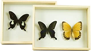 Butterfly Insect Specimens Collection DIY Display Box Pine Wood, DIY Dried Flowers Artwork Gifts Home Decoration Artists Keeps Natural 29 × 21 × 5.5 cm