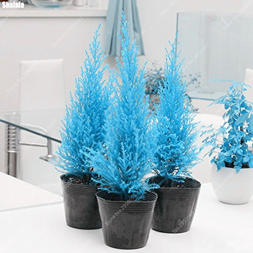 60pcs / bag Rare Blue Cypress Seed Mini Bonsai Platycladus Orientalis Tuia in vaso da giardino Conifere Albero pianta facile da coltivare