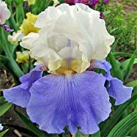 アイリス球根&甘い春の植栽観賞用ゴージャスな特別なエキゾチックな花の家,4 球根