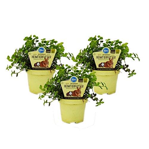 Exotenherz - Set mit 3 Futterpflanzen für Heimtiere - Callisia repens - Vitalfutter für Kaninchen, Ziervögel, Reptilien, Hamster und Meerschweinchen