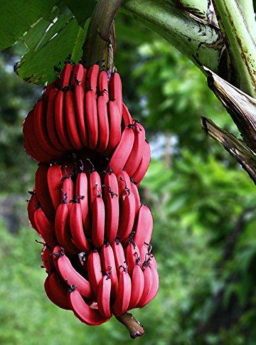 100 PCS sehr seltene rote Banane Samen, Outdoor ausdauernde Interessante Pflanzen, Milchgeschmack, lecker Fruchtsamen für Heim & Garten