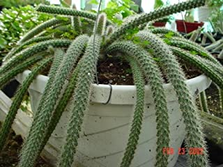 Best monkey tail cactus plant care Reviews