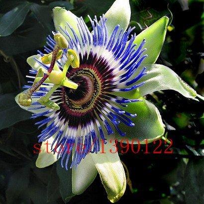 Passion Flower (Passiflora incarnata), 100pcs / sac de semences certifiées en direct pur, True usine de graines indigènes pour la maison et le jardin
