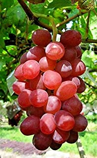 ruby roman grapes seeds