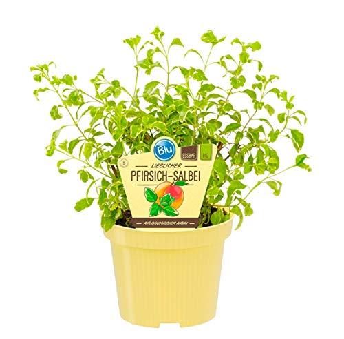 Bio Salbei Pfirsich-Salbei (Salvia greggii variegata), Kräuter Pflanzen aus nachhaltigem Anbau, (1 Pflanze)