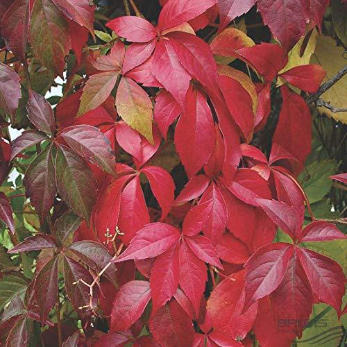 Parthenocissus Quinquefolia 'Engelmannii' - Wilder Wein 50-60 cm Pflanzcontainer