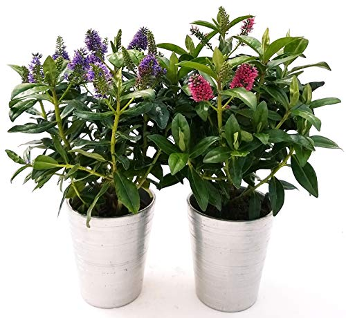 Veronica Blume, Fuchsia und Blau, 2 Pflanzen, aus Keramik, Silber, Vase, 12 cm, echte Pflanzen