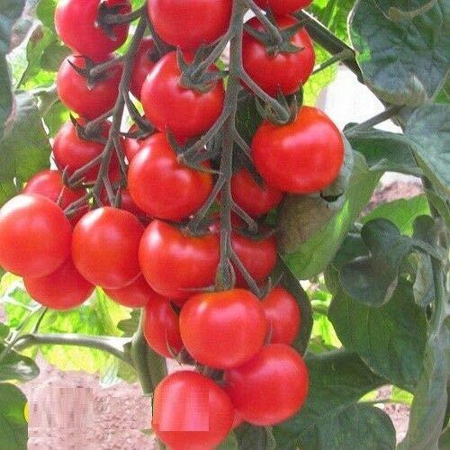 Portal Cool 10 graines: tomate Hilma F1 Graines hybrides tomates rouges 10 graines ou 50 graines ou 100 graines
