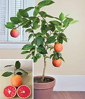 Miniature Moro blood orange tree 5 seeds, very rare