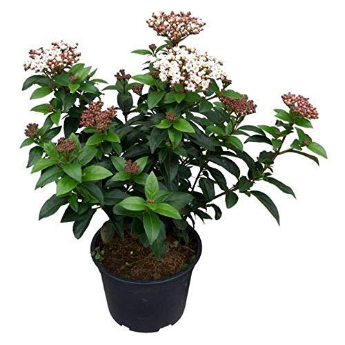 Mittelmeer Schneeball Lisa Rose 40-50cm - Viburnum tinus