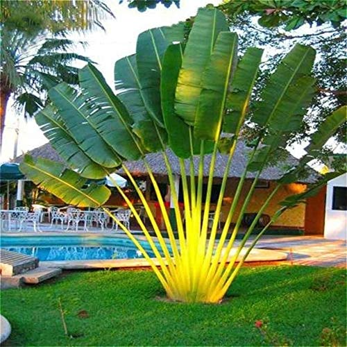 Bloom Green Co. 10pcs gaint Bonsai palma pianta sempreverde Trachycarpus palme tropicali perenne giardino domestico di DIY piante in vaso