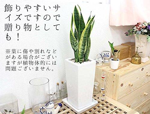 ブルーミングスケープ『空気を浄化するといわれているサンスベリアホワイト陶器鉢6号「ストレート」』