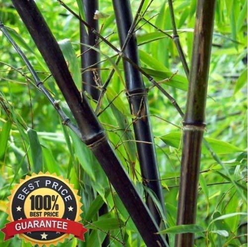 200 graines de graines fraîches bambou noir Phyllostachys Nigra